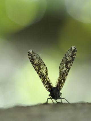 ステキな虫たち(カメムシ目)