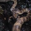 ハナサキガエルの繁殖